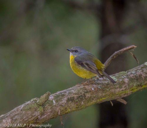 Eastern yellow Robin, Greens Bush, Mornington Peninsula National Park, Vic