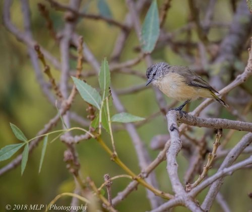 Yellow-rumped Thornbill, Willowind, Moorooduc, Vic
