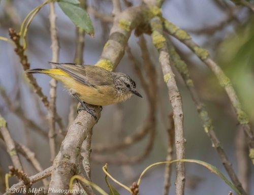Yellow-rumped Thornbill, Willowind, Moorooduc, Vic