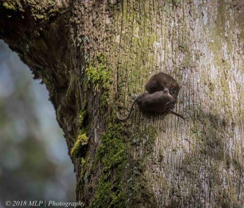 Brown Antechinus, Greens Bush, Mornington Peninsula National Park, Vic