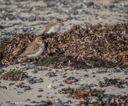 Double banded Plover, Flinders Ocean Beach, Flinders, Vic