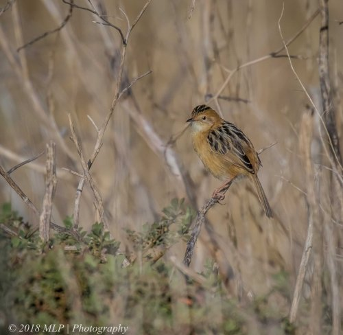 Golden-headed Cisticola, Western Treatment plant, Werribee, Vic