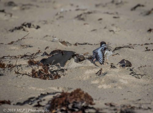 Hooded Plover, Flinders Ocean Beach, Flinders, Vic
