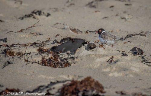 Hooded Plover, Flinders Ocean Beach, Flinders, Vic