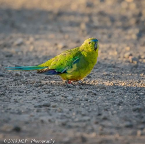 Orange-bellied parrot, Western Treatment plant, Werribee