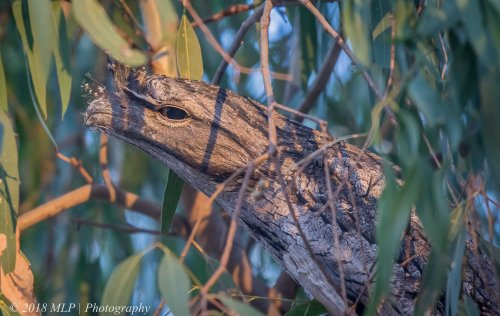 Tawny Frogmouth, Braeside Park, Vic