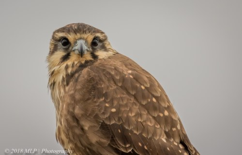 Brown Falcon, Western Treatment Plant, Werribee, Vic