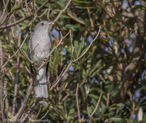 Grey Shrike-thrush, Greens Bush, Mornington Peninsula National Park