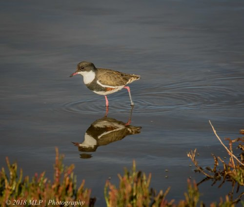 Red -kneed Dotterel, Western Treatment Plant, Werribee, Vic