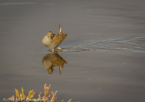 Spotted Crake, Western Treatment Plant, Werribee, Vic
