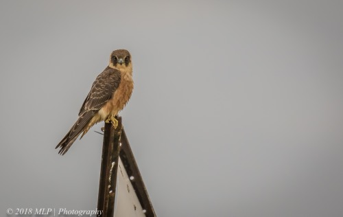 Australian Hobby, Western Treatment Plant, Werribee, Vic