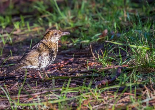 Bassian Thrush, Greens Bush, Mornington Peninsula National Park, Vic