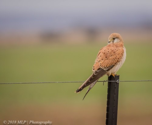 Nankeen Kestrel, Western Treatment Plant, Werribee, Vic