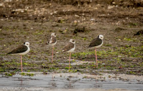 Pied Stilt, Western Treatment Plant, Werribee, Vic