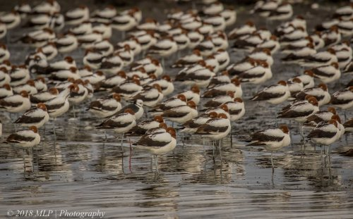 Red-necked Avocet, Western Treatment Plant, Werribee, Vic