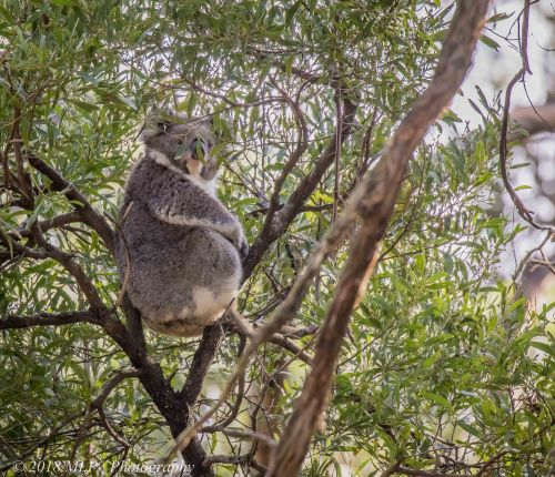 Koala, Greens Bush, Mornington Peninsula National Park, Vic