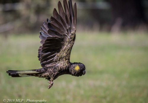 Yellow-tailed Black-cockatoo, Mornington Peninsula National Park, Vic