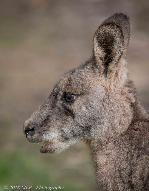 Grey Kangaroo, Greens Bush, Mornington Peninsula National Park, Vic