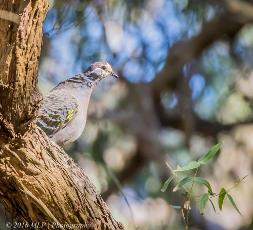 Common Bronzewing, Greens Bush, Mornington Peninsula National Park, Vic,