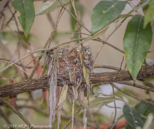 Eastern Yellow Robin nest, Greens Bush, Mornington Peninsula National Park, Vic