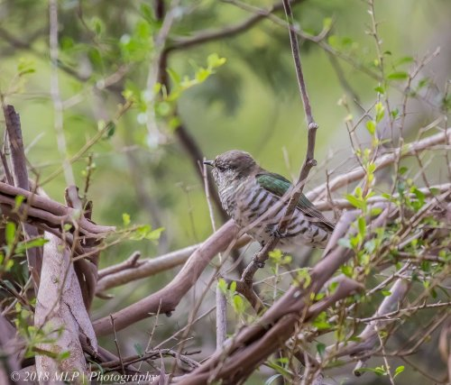 Shining Bronze Cuckoo, Moorooduc Quarry Flora and Fauna Reserve, Vic