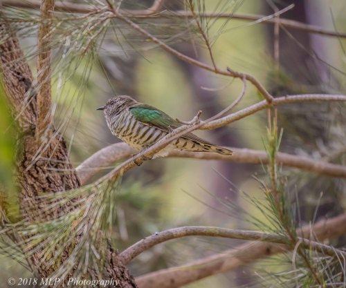 Shining Bronze Cuckoo, Moorooduc Quarry Flora and Fauna Reserve, Vic