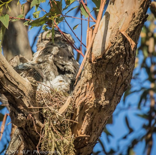 Tawny Frogmouth and chick, Elsternwick Park North, Elsternwick, Vic