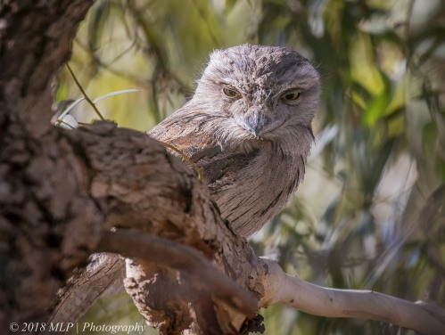 Tawny Frogmouth, Elsternwick Park North, Elsternwick, Vic