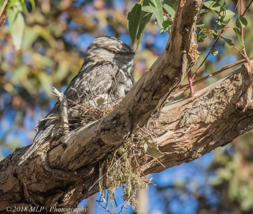 Tawny Frogmouth on nest, Elsternwick Park North, Elsternwick, Vic