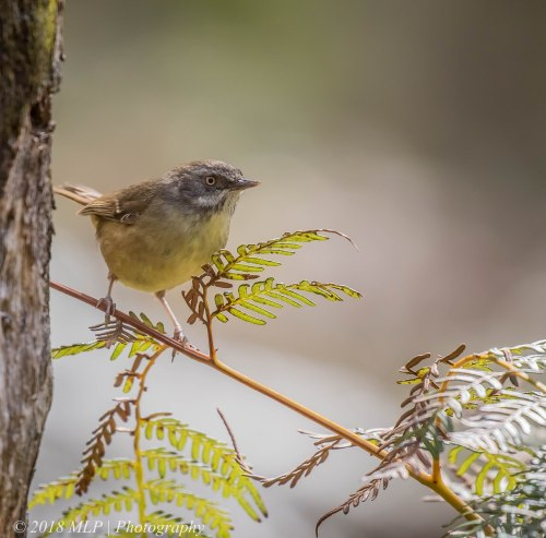 White-browed Scrubwren, Greens Bush, Mornington Peninsula National Park, Vic