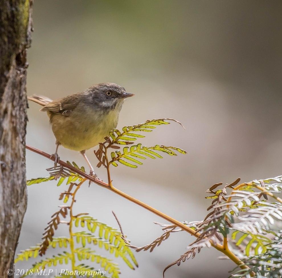 White-browed Scrubwren, Greens Bush, Mornington Peninsula National Park, Vic