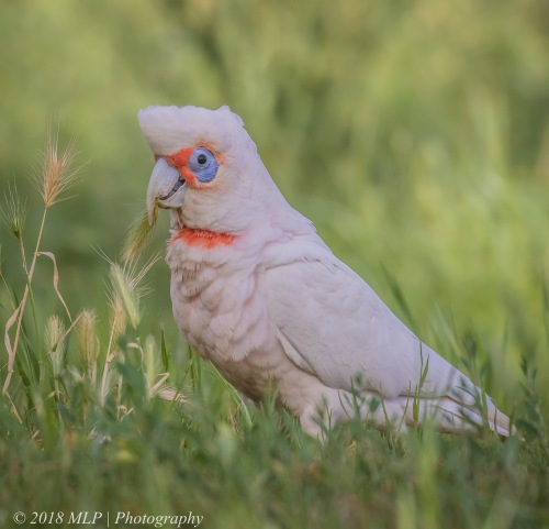 Long billed Corella, Elster Park North, Elternwick, Vic