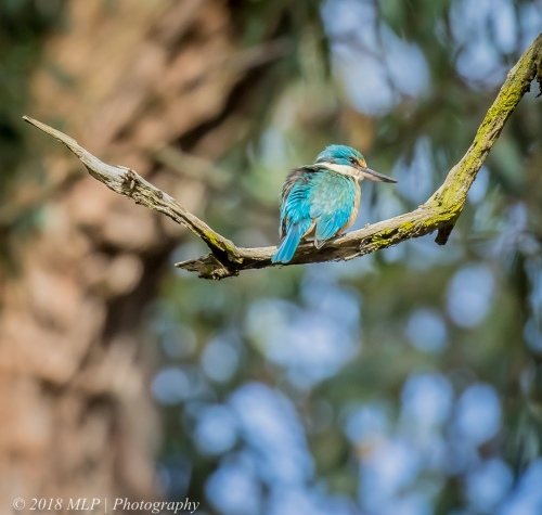 Sacred Kingfisher, Greens Bush, Mornington Peninsula National Park, Vic
