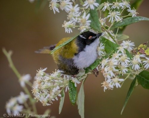 White naped honeyeater, Greens Bush, Mornington Peninsula National Park, Vic