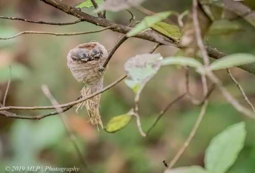 grey fantail chicks in nest, greens bush, mornington peninsula national park, vic