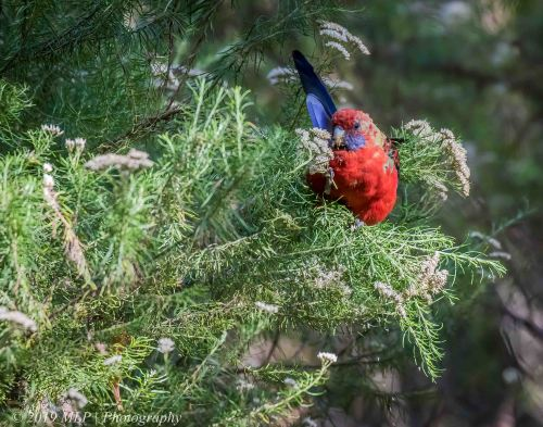 Juvenile Crimson Rosella, Greens Bush, Mornington Peninsula National Park, Vic,