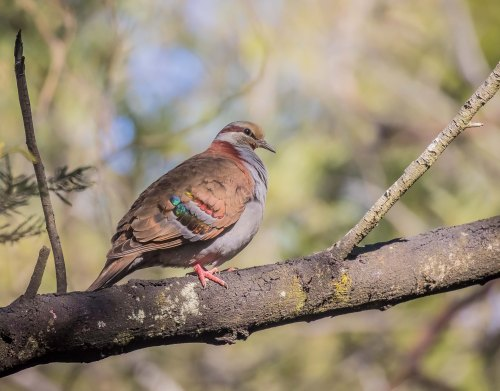Brush Bronzewing, Moorooduc Quarry, Moorooduc, Vic