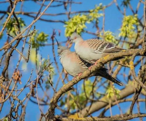 Crested Pigeons, Elster Creek, Elsternwick, Vic