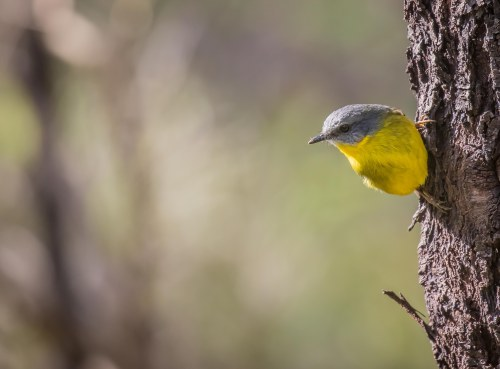 Eastern Yellow Robin, Moorooduc Quarry, Mt Eliza, Vic