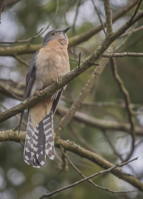 Fan-tailed cuckoo, Moorooduc Quarry