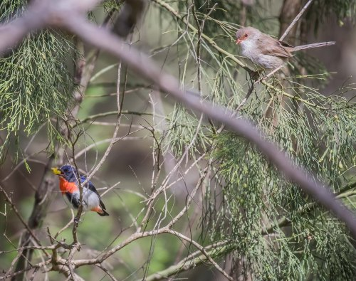 Mistletoebird and Superb Fairy-wren, Moorooduc Quarry, Mt Eliza, Vic
