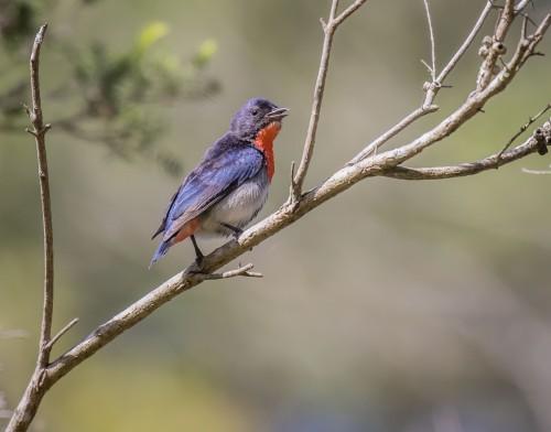 Mistletoebird, Moorooduc Quarry, Mt Eliza, Vic
