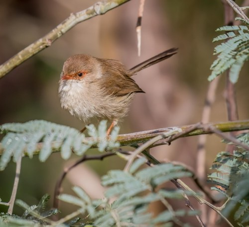Superb Fairy-wren, Moorooduc Quarry, Mt Eliza, Vic
