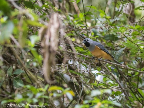 Black-faced Monarch, Cabbage Tree Creek Flora Reserve, Vic