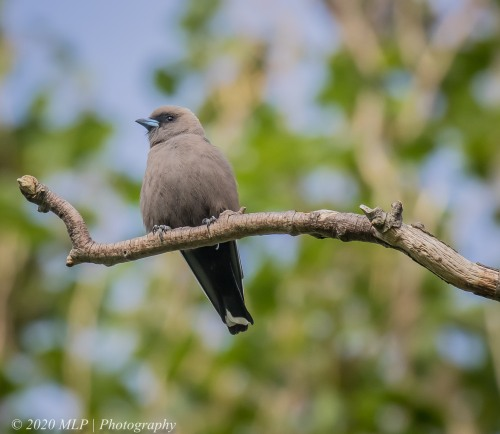 Dusky Woodswallow II, Willowind Farm, Moorooduc, Vic