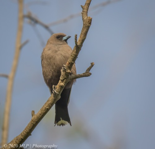 Dusky Woodswallow, Willowind Farm, Moorooduc, Vic