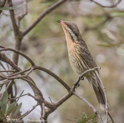 Spiny-cheeked Honeyeater, Greens Bush, Mornington Peninsula National Park, Vic,