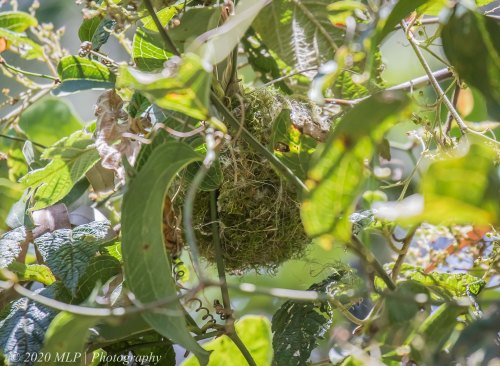 Yellow-faced Honeyeater nest II, Cabbage Tree Creek Flora Reserve, Vic