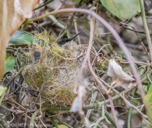 Eastern Spinebill in nest, Casuarina Track, Mallacoota, Vic