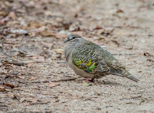 Female Common Bronzewing, Casuarina Walk, , Mallacoota, Vic